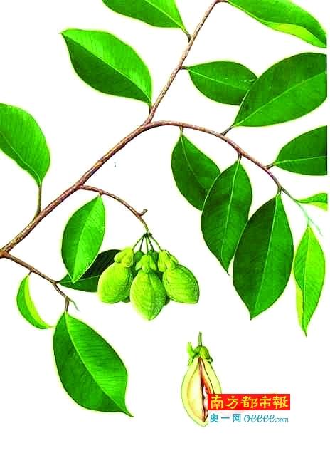沉香树苗价格        沉香在中国的使用历史悠久,从古至今,古籍