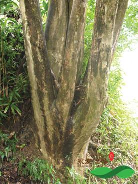 湖北有野生的沉香树资源吗?可以种植吗?